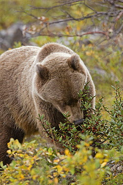 Grizzly Bear (Ursus arctos horribilis) feeding on berries, central Alaska  -  Donald M. Jones