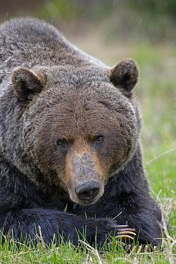 Grizzly Bear (Ursus arctos horribilis) male lying down, western Alberta, Canada  -  Donald M. Jones