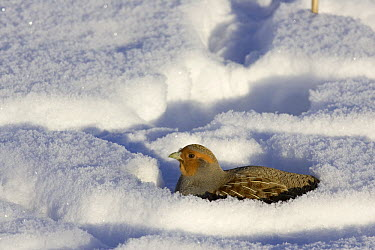European Partridge (Perdix perdix) buried in snow, western Montana  -  Donald M. Jones