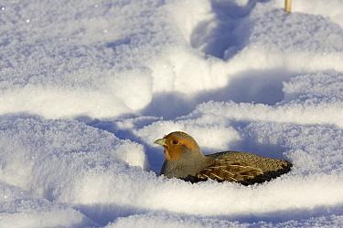 European Partridge (Perdix perdix) buried in snow, western Montana  -  Donald M. Jones