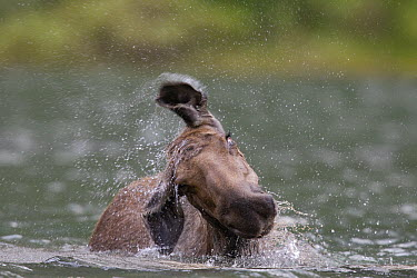 Moose (Alces alces shirasi) cow shaking off water, western Montana  -  Donald M. Jones