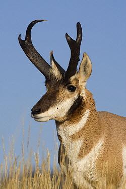 Pronghorn Antelope (Antilocapra americana) buck, eastern Montana  -  Donald M. Jones