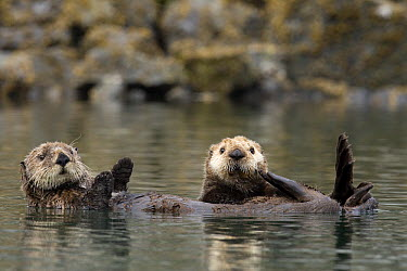 Sea Otter (Enhydra lutris) pair floating, Prince William Sound, Alaska  -  Donald M. Jones