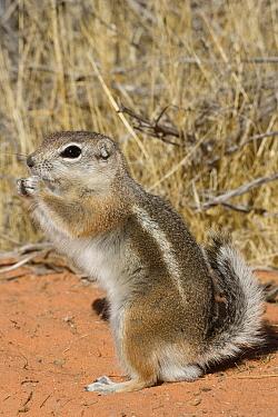 White-tailed Antelope Squirrel (Ammospermophilus leucurus), southern Nevada  -  Donald M. Jones