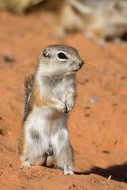 White-tailed Antelope Squirrel (Ammospermophilus leucurus) standing guard, southern Nevada  -  Donald M. Jones