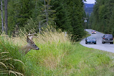 White-tailed Deer (Odocoileus virginianus) buck at busy roadside, western Montana  -  Donald M. Jones