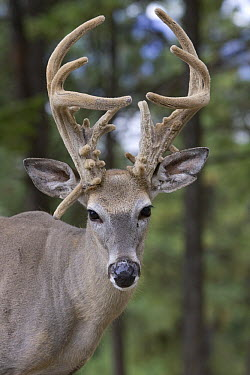 White-tailed Deer (Odocoileus virginianus) buck with deformed velvet antlers, western Montana  -  Donald M. Jones