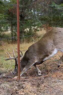 White-tailed Deer (Odocoileus virginianus) buck going under barbed wire fence, western Montana. Sequence 1 of 2  -  Donald M. Jones