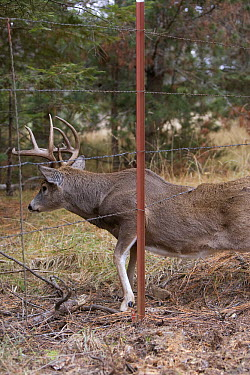 White-tailed Deer (Odocoileus virginianus) buck going under barbed wire fence, western Montana. Sequence 2 of 2  -  Donald M. Jones