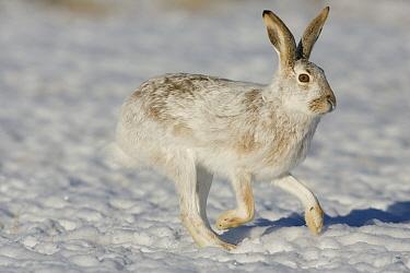 White-tailed Jack Rabbit (Lepus townsendii) hopping in winter coat, eastern Montana  -  Donald M. Jones