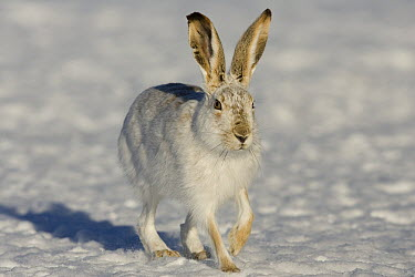White-tailed Jack Rabbit (Lepus townsendii) hopping in winter coat, eastern Montana  -  Donald M. Jones