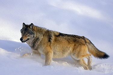 Timber Wolf (Canis lupus) walking through snow, western Alberta, Canada  -  Donald M. Jones