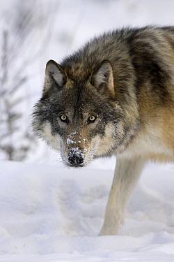 Timber Wolf (Canis lupus), western Alberta, Canada  -  Donald M. Jones