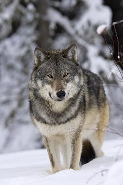 Timber Wolf (Canis lupus) in winter, western Alberta, Canada  -  Donald M. Jones