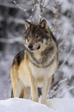 Timber Wolf (Canis lupus) in winter, western Alberta, Canada  -  Donald M. Jones