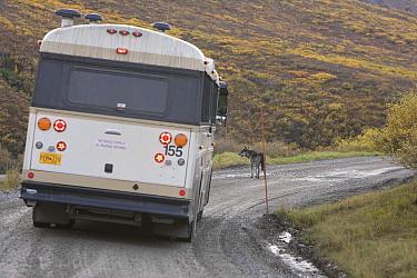 Timber Wolf (Canis lupus) in front of bus, Denali National Park, Alaska  -  Donald M. Jones