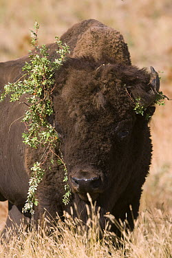 American Bison (Bison bison) with branches on head, western Montana  -  Donald M. Jones