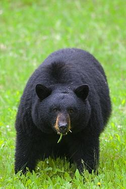 Black Bear (Ursus americanus) eating grasses, western Alberta, Canada  -  Donald M. Jones