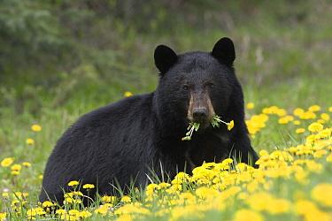 Black Bear (Ursus americanus) eating dandelions, western Alberta, Canada  -  Donald M. Jones