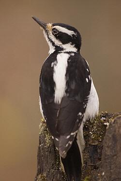 Hairy Woodpecker (Picoides villosus) female on snag, western Montana  -  Donald M. Jones