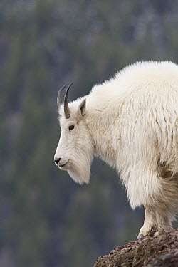 Mountain Goat (Oreamnos americanus) on rocky outcrop, western Montana  -  Donald M. Jones