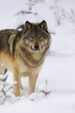 Timber Wolf (Canis lupus) in snow, western Alberta, Canada  -  Donald M. Jones