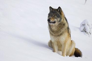 Timber Wolf (Canis lupus) sitting in snow, western Alberta, Canada  -  Donald M. Jones