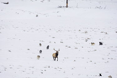 Timber Wolf (Canis lupus) group running down American Elk (Cervus elaphus nelsoni) bull, Yellowstone National Park, Wyoming  -  Donald M. Jones