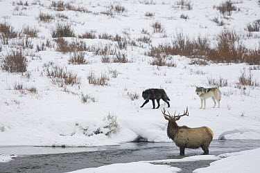 Timber Wolf (Canis lupus) pair keeping American Elk (Cervus elaphus nelsoni) in river, Yellowstone National Park, Wyoming  -  Donald M. Jones