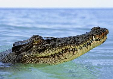 Saltwater Crocodile (Crocodylus porosus) at surface, Oro Bay, Papua New Guinea  -  Mike Parry