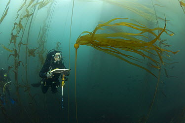Biologist, Mike Beck, performs rockfish survey in mixed Giant Kelp (Macrocystis pyrifera) and Bull Kelp (Nereocystis luetkeana) bed off Asilomar State Beach, Monterey, California  -  Richard Herrmann
