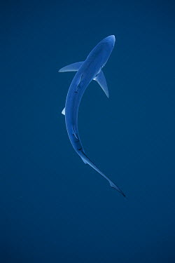 Blue Shark (Prionace glauca), San Diego, California  -  Richard Herrmann