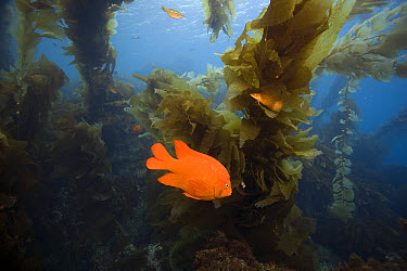 Garibaldi (Hypsypops rubicundus) amid kelp, San Clemente Island, Channel Islands, California  -  Richard Herrmann