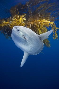 Ocean Sunfish (Mola mola) under drifting Giant Kelp (Macrocystis pyrifera) paddy, San Diego, California  -  Richard Herrmann