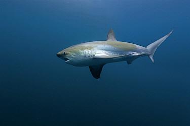 Common Thresher Shark (Alopias vulpinus), Oceanside, California  -  Richard Herrmann