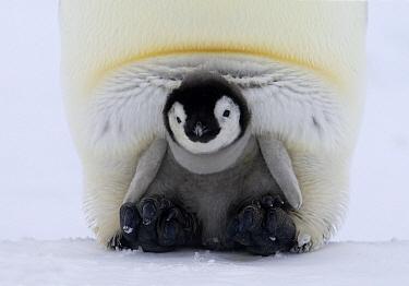 Emperor Penguin (Aptenodytes forsteri) chick on the feet of an adult, Antarctica  -  Rob Reijnen / NiS