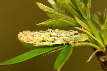 Golden Chain Tree (Laburnum anagyroides) seed, Netherlands  -  Wil Meinderts/ Buiten-beeld