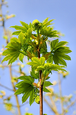 Sycamore (Acer pseudoplatanus) branch with leaves, Netherlands  -  Wil Meinderts/ Buiten-beeld