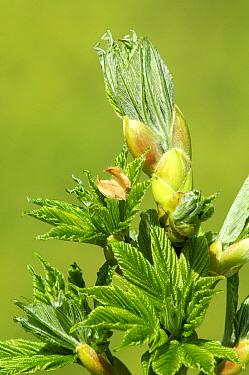 Sycamore (Acer pseudoplatanus) budding, Netherlands  -  Wil Meinderts/ Buiten-beeld
