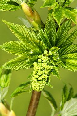Sycamore (Acer pseudoplatanus) flower, Netherlands  -  Wil Meinderts/ Buiten-beeld