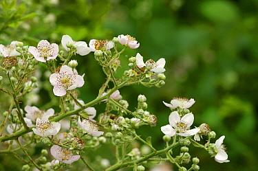 Shrubby Blackberry (Rubus fruticosus) flowering, Netherlands  -  Wil Meinderts/ Buiten-beeld