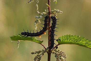 Small Tortoiseshell (Aglais urticae) caterpillars feeding on Stinging Nettle (Urtica dioica), Netherlands  -  Gerard de Hoog/ NiS