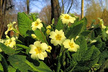 Primrose (Primula vulgaris) flowers, perennial, Netherlands  -  Wil Meinderts/ Buiten-beeld
