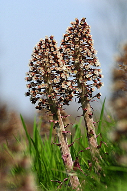 Butterbur (Petasites hybridus) flowers, perennial, Netherlands  -  Wil Meinderts/ Buiten-beeld
