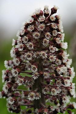 Butterbur (Petasites hybridus) flowers, Netherlands  -  Wil Meinderts/ Buiten-beeld