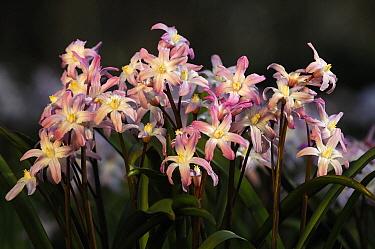 Scilla (Scilla siehei) flowers, Netherlands  -  Wil Meinderts/ Buiten-beeld