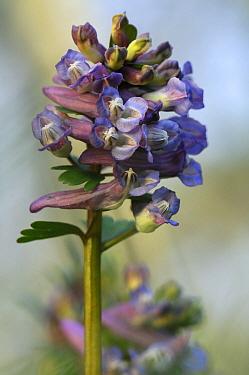 Bird-in-a-bush (Corydalis solida) flowers, Netherlands  -  Wil Meinderts/ Buiten-beeld
