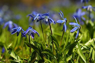 Scilla (Scilla armena) flowers, Netherlands  -  Wil Meinderts/ Buiten-beeld