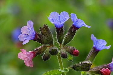 Common Lungwort (Pulmonaria officinalis) flowers, Netherlands  -  Wil Meinderts/ Buiten-beeld