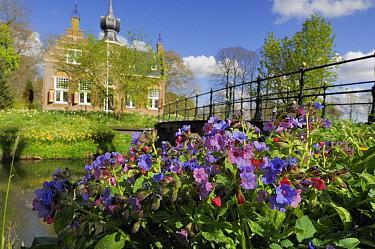 Common Lungwort (Pulmonaria officinalis) flowers in city, Netherlands  -  Wil Meinderts/ Buiten-beeld